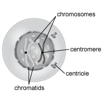 Cell Prophase