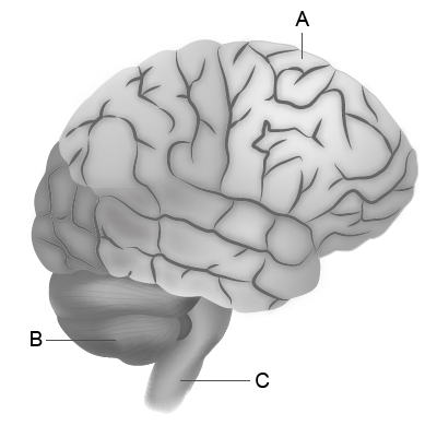 Brain Lobes Simple
