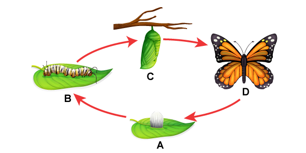 Butterfly Lifecycle Without Text Labels
