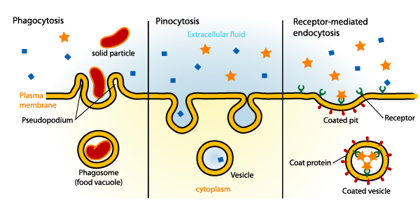 Endocytosis With Text Labels