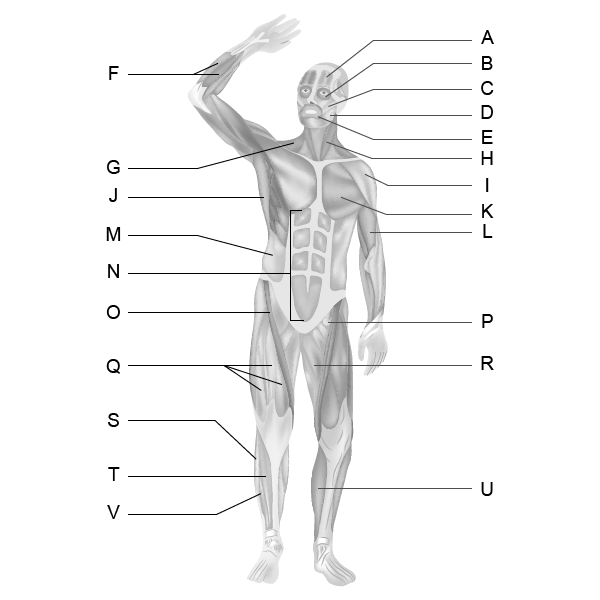 Muscular System - Front