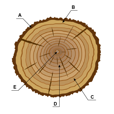 Carpentry - Tree Cross Section
